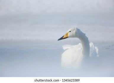 Whooper swan on Hokkaido