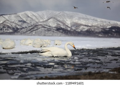 Whooper swan on ice