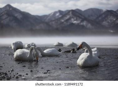 Whooper swan on lake Kussaro