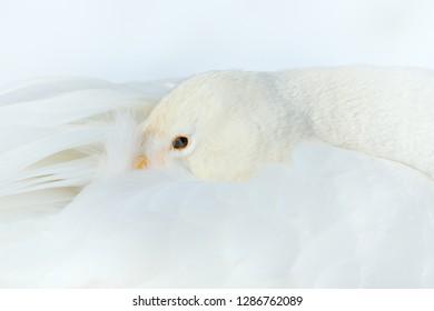 Whooper Swan sleeping, Cygnus cygnus, detail bill portrait of bird with black and yellow beak, Hokkaido, Japan. Swan with head in the white plumage. Detail of  beautiful bird, wildlife nature.