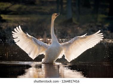 whooper swan spreading its wings