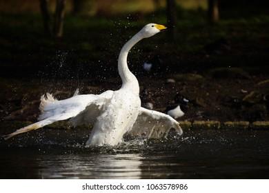 Whooper Swan, Swans, Cygnus cygnus