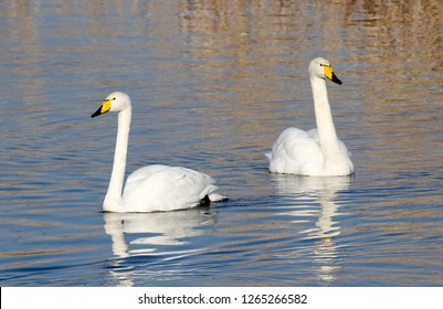 whooper swan swimming