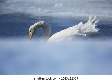 Whooper swan in winter