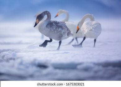 Whooper swan. Whooper swan in winter. Whooper swan from Japan. Wild animal from Hokkaido in wintertime.