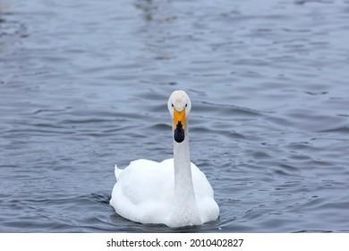 Whooper swan  wintering on the thermal lake Svetloe (Lebedinoe), Altai Territory, Russia - Shutterstock ID 2010402827