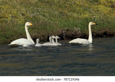 Whooper swans with chicks (Cygnus cygnus) Iceland