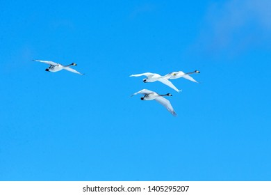 Whooper swans (Cygnus cygnus) in flight with outstretched wings against blue sky, winter, Hokkaido, Japan, beautiful royal white birds flying, elegant animal, exotic birding in Asia