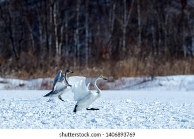 Whooper Swans (Cygnus cygnus) walking on snow near the Lake Kussharo. Unique natural beauty of Hokkaido, Japan,birding adventure in Asia,beautiful elegant royal bird, wallpaper,forest in background
