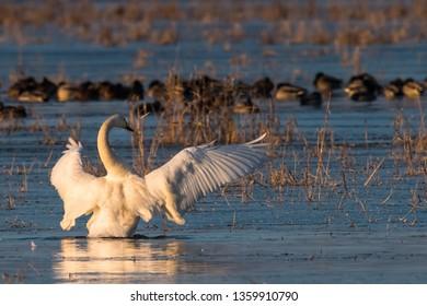 Whooper Swans , Cygnus cygnus, in winter, Lower Oder Valley National Park, Brandenburg, Germany