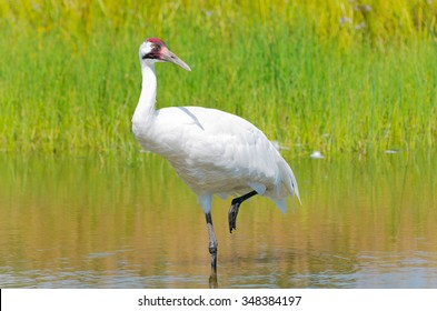 whooping crane or grus americana bird wading with one leg raised in marsh