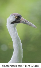 Whooping crane in profile on green background