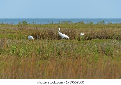 Whooping Crane in the Wetland Along the Gulf Coast in the Aranasas National Wildlife Refuge in Texas