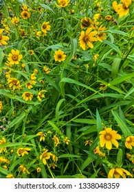 Whorled tickseed (Coreopsis verticillata) is a North American species of tickseed in the sunflower family.