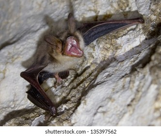Wicked Vampire bat in Cave