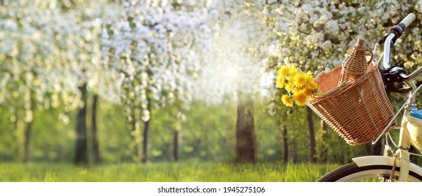 wicker basket with a bouquet of dandelions and a bottle of wine on a bicycle on the background of a park with blooming fruit trees. spring picnic at sunset