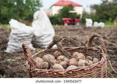 Wicker basket is filled with freshly dug potatoes. On basket there is hoe - retro hand tools for potato digging. Harvest time. Life in the village, Ukraine
