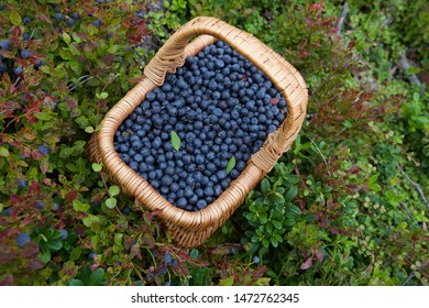 A wicker basket filled with ripe bilberry (vaccinium myrtillus). Season: Summer. Location: Western Siberian taiga.