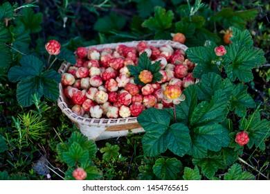 A wicker basket with fresh cloudberries (Rubus chamaemorus). Season: Summer. Location: Western Siberian taiga.