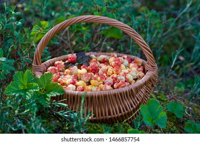A wicker basket full of cloudberries (Rubus chamaemorus). Season: Summer. Location: Western Siberian taiga.