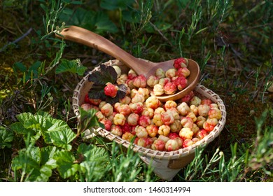 A wicker basket full of freshly picked cloudberries (Rubus chamaemorus). Season: Summer. Location: Western Siberian taiga.