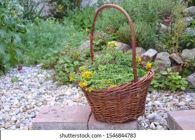 A wicker basket full of harvested herbs in front on a permacultural herb spiral