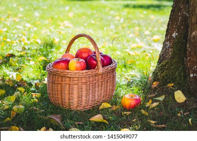 Wicker basket full of red apples in garden. Fresh harvested organic fruit in garden. Picking apple at autumn season