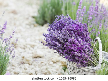 Wicker basket with lavender flowers closeup over rough round of lavender field. Bush of lavender on a field background.