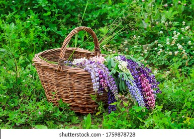 Wicker basket with lupine flowers in garden. Lupinus, Commonly Known as Lupin or Lupine is Genus of Flowering Plants in Legume Family, Fabaceae.
