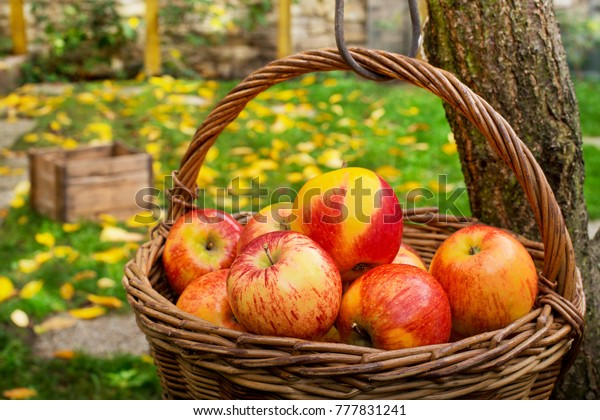 Wicker Basket with Red Apples in the Garden.