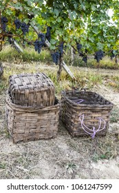 Wicker baskets to carry grapes during the grape harvest in Langhe, the largest wine region in Piedmont (Unesco World Heritage Site).