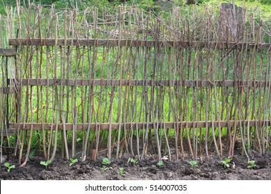 Wicker fence in the garden. Natural fence crafted of twigs of hazel, Corylus avellana. Natural, permaculture garden. Flowerbed with cucumber seedlings. Cucumbers can climb over the fence.