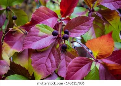 Wicker Virginia creeper (Parthenocissus quinquefolia) foliage in autumn with berries