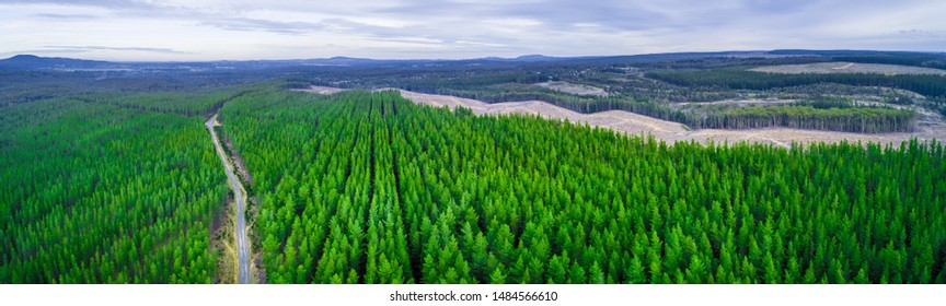 Wide aerial panorama of road passing through pine trees plantation in Australia