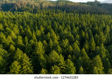 Wide aerial view of redwood forest in New Zealand