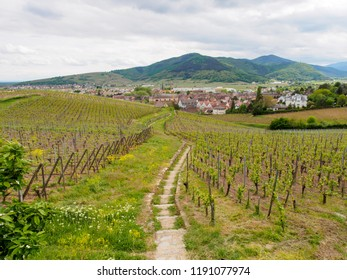Wide aerial view of stairs through a hillside vineyard with town in background. Alsace Wine Route, Turckheim, France. Travel and winemaking tourism.