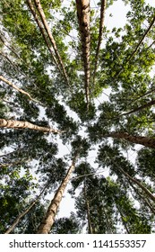 Wide angle from below of an eucalyptus forest