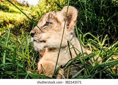 A wide angle close up of a baby lion cub outdoors in the grass