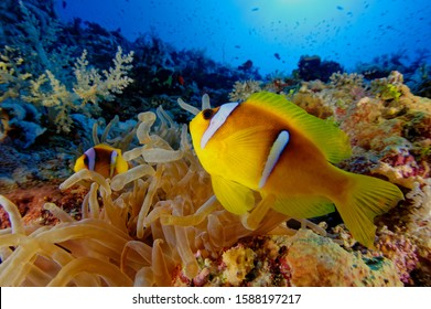 wide angle close up picture of colorfull anemone and clown fish