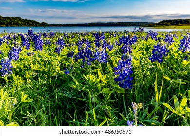 A Wide Angle Closeup of Beautiful Famous Texas Bluebonnet (Lupinus texensis) Wildflowers  at Muleshoe Bend on Lake Travis in Texas.