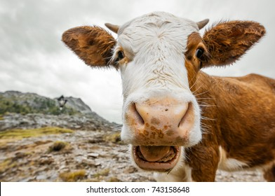 wide angle cow portrait - alps in South Tyrol - Staller Sattel - Austria