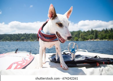 Wide angle curious white terrier dog looking to side standing wearing life jacket on stern of motor boat with bright blue sky with clouds and lake shore in background of summer afternoon boating scene