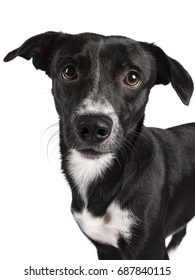 Wide angle Head shot of black and white stray dog isolated on white background
