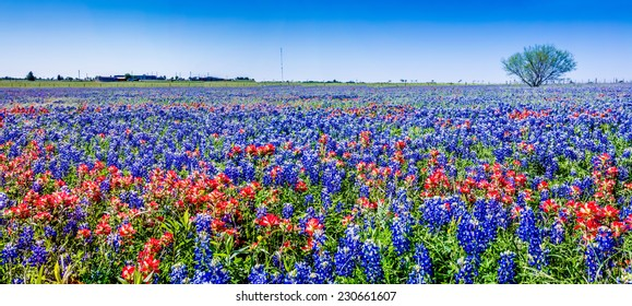 A Wide Angle High Resolution Panoramic View of a Beautiful Field of Texas Wildflowers, Including Indian Paintbrush and Texas Bluebonnets.