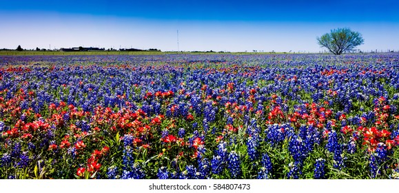 A Wide Angle High Resolution Panoramic View of a Beautiful Texas Field Plumb Full of Bright Colorful Texas Wildflowers, including Bluebonnets and Indian Paintbrush.