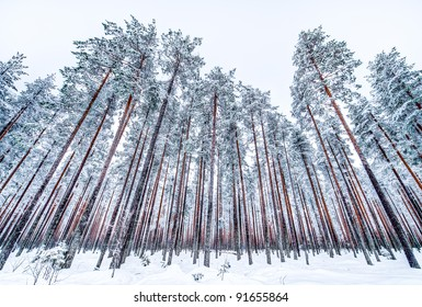 a wide angle image of an arctic forest