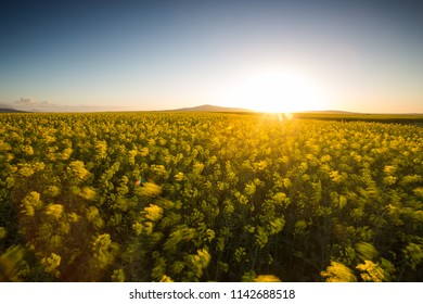 Wide angle image of the sun setting over a bright yellow canola field in the western cape of south africa.