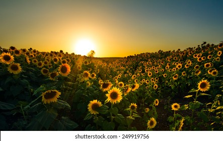 A wide angle image of a sunflower field taken in a valley at dusk.
