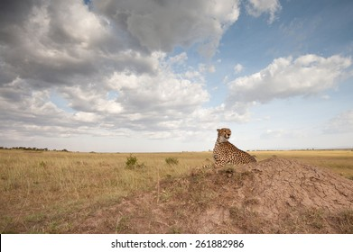 Wide angle landscape of Cheetah on termite mound in Masai Mara National Reserve, Kenya