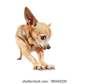 wide angle photo of a goofy chihuahua stretching his legs and paws with his tongue hanging out  studio shot on an isolated white background